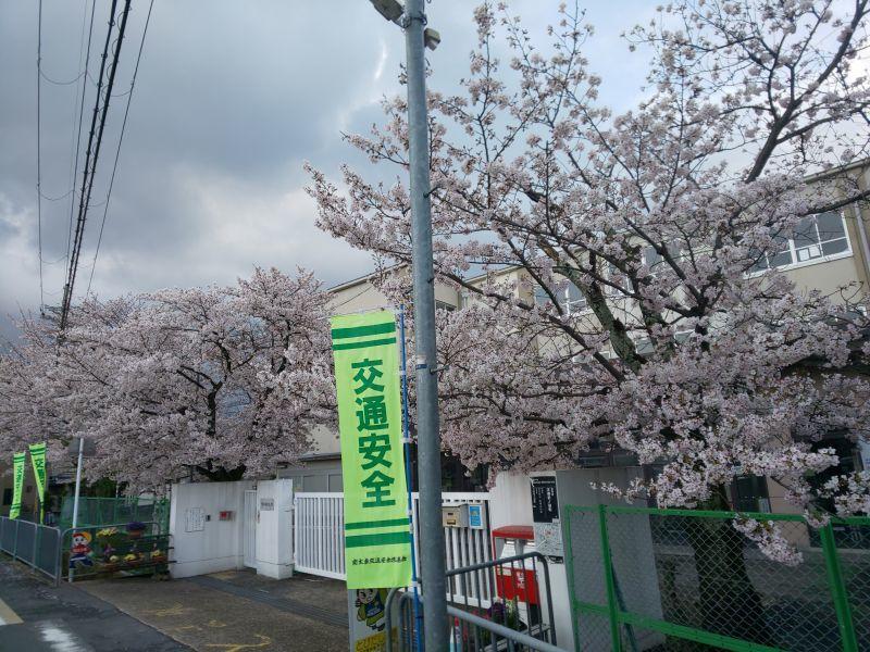学校前の桜2