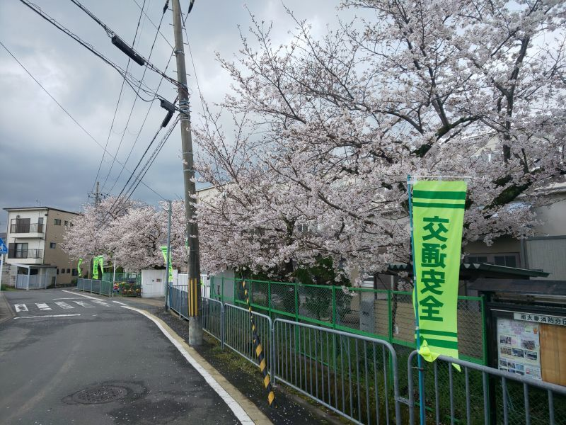 学校前の桜1